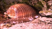 Tropical Sea Life - Cone Shell Snail