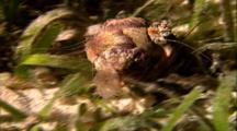 Tropical Sea Life - Hermit Crab Crawls Through Sea Grass