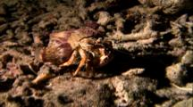 Tropical Sea Life - Hermit Crab Crawls Over Coral Bottom