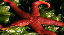 Shoreline Life - Red Starfish On Green Kelp