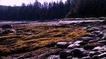 Shoreline Life - Rocky Shore And Exposed Tidal Kelp Beds