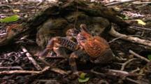 Shoreline Life - Coconut Crab