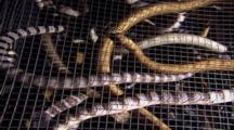 Cage Full Of Sea Snakes After Capture By Native Free Divers
