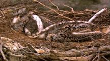 Osprey Fledgelings In Nest
