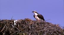 Osprey Parent At Nest