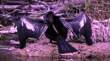 Anhinga With Wings Spread, Drying Feathers