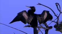 Anhinga In Tree With Wings Spread