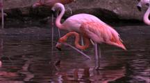 Flamingoes In Water