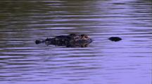 Alligator Submerges Below Water
