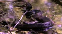Cottonmouth Snake In Water