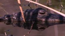 Alligator Eye Above Water