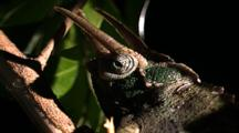 Three Horned Chameleon Eye Movement
