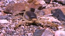 Scorpion On Gravel