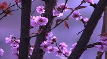Branch Of Tree With Spring Blossoms (Apple Or Plum)