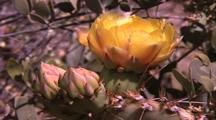 Yellow Prickly Pear Cactus Flower