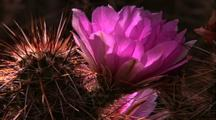 Pan Right To Spiny Cactus With Pink Flowers
