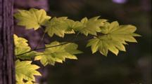Maple Leaves On Thin Branch, Tree Trunk Left Foreground