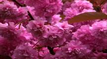Pink Blossums (Azalia?)