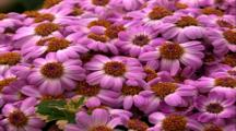 Zoom Into Purple Daisy Flowers
