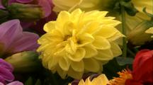 Multi Petal Yellow Flower (Dahlia)