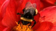 Extreme Closeup Bee In Red Flower Gathering Polen