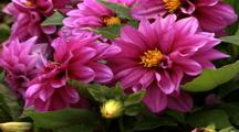 Pink Flowers With Yellow Centers And New Buds