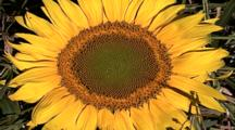 Extreme Close Up, Zoom Out Sunflower Center