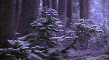 Snow In Forest, Pan Right, Large Pine Trunks And Small Pine Trees