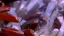 Riftia Tube Worms In Flowing Hot Water