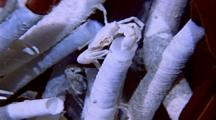 Tube Worms And Crabs In Flowing Hot Water