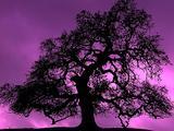 Winter Scenics - Silhouette Oak Tree, Sunset