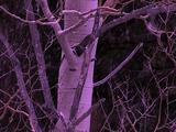 Winter Scenics - Snowing, Tilt Up Bare Aspen Tree