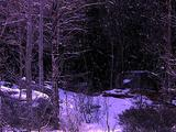 Winter Scenics - Snow Falling, Wide Scenic Of Birch And Pine Trees