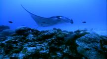 Manta Ray With Remoras Attached