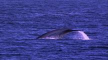 Blue Whale Dives, Fluke
