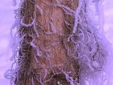 Snow Ice Cyrstals On Tree Trunk