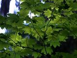 Maple Tree Branches And Leaves