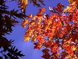 Autumn Maple Leaves On Branch