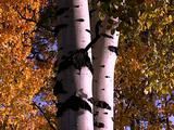 Autumn Aspen Tree Trunk And Leaves