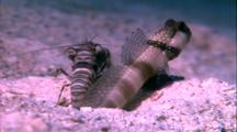 Blue Striped Goby And Shrimp In Burrow
