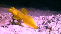 Yellow Goby And Shrimp In Burrow