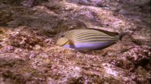 Blue Banded Surgeon Fish Eating Coral