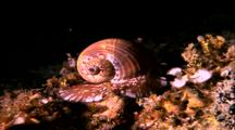 Cone Shell Snail