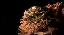 Decorator Crab On Soft Coral