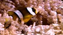 Juvenile Clownfish In Anemone
