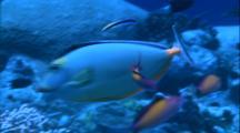 Orangespin Unicornfish At Cleaning Station