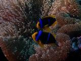 Anemone Clownfish In Anemone