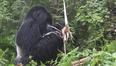 Mountain Gorilla (Gorilla beringei beringei) Silverback peeling off and eating Bamboo shoot