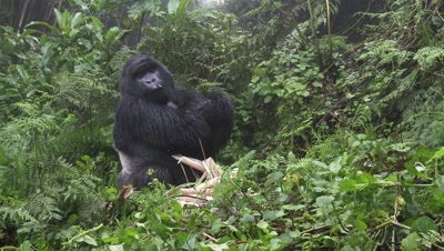 Mountain Gorilla (Gorilla beringei beringei) Silverback eating Bamboo,turning himself around,Volcanoes N.P. Rwanda.