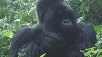 Mountain gorilla,Silverback Munyinya,from Hirwa group licking his injured hand.